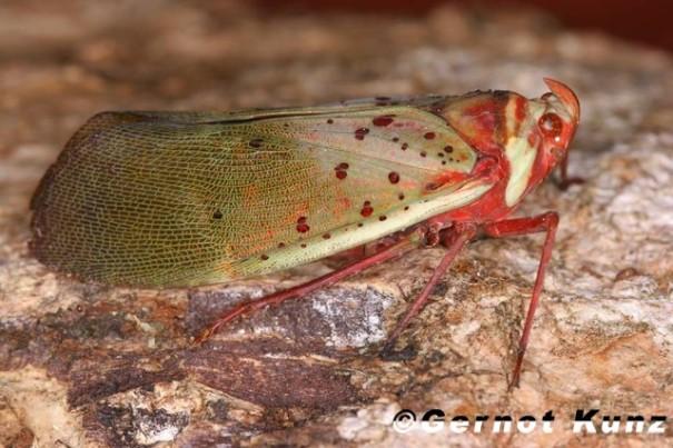 Copidocephala guttata (White, 1846)