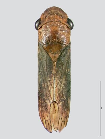 Oncometopia facialis Signoret 1854